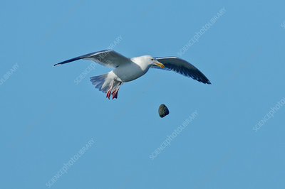 Glaucous-winged Gull breaks clam