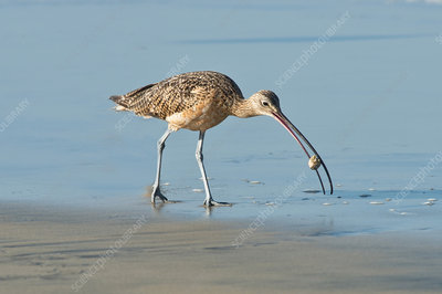 Long-billed Curlew catching crab