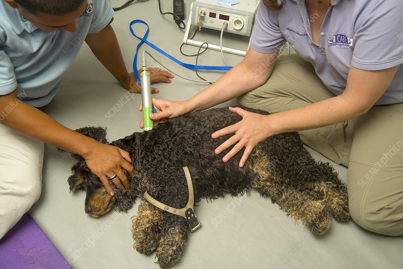Dog Treated with Therapeutic Laser