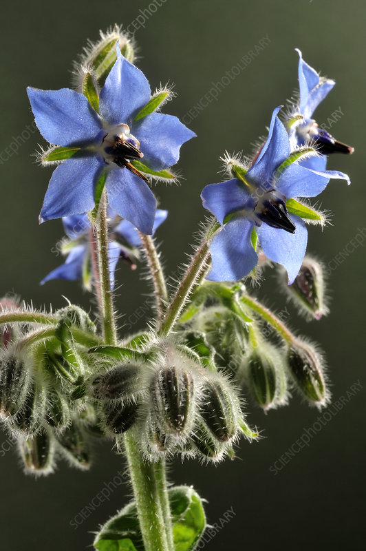 Borage or starflower flower