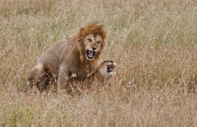 Male and Female Lion Mating