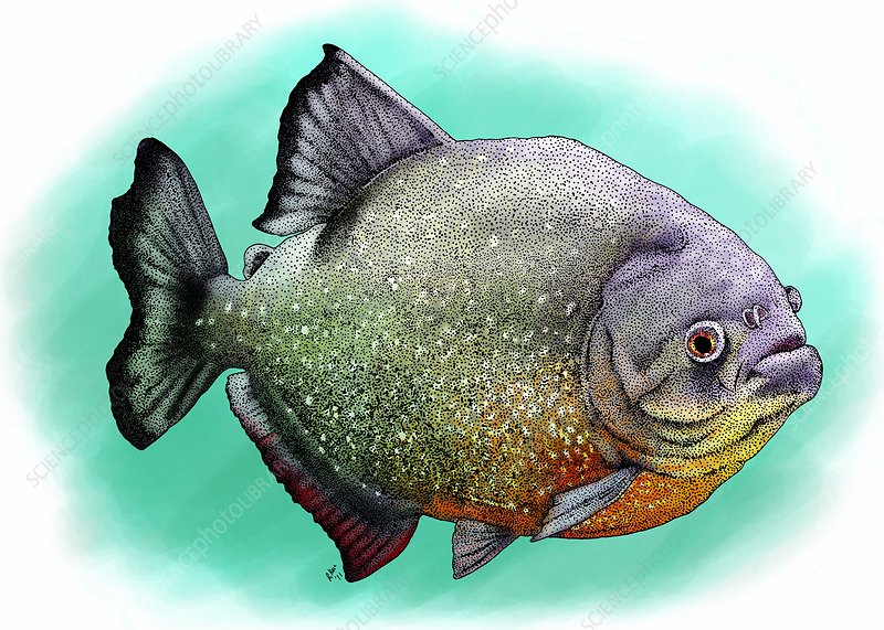 Red breasted piranha