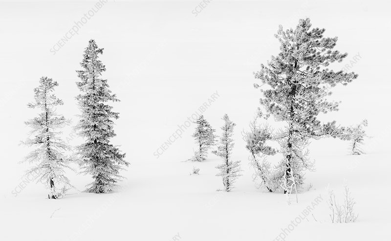Trees with Hoar Frost