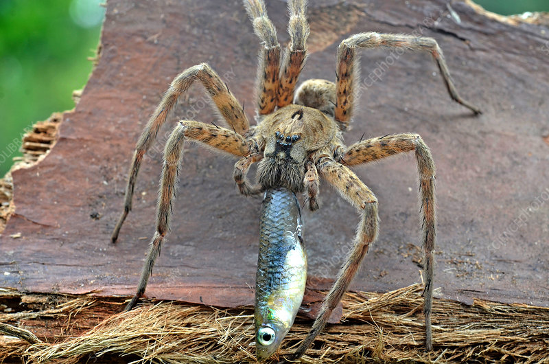 Fishing Spider with Prey