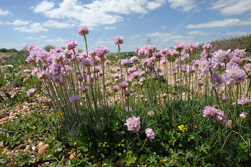 Thrift Plants on Chesil Beach, Dorset