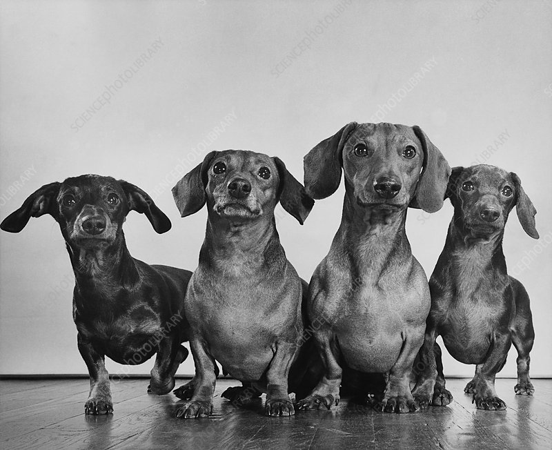Dachsunds
