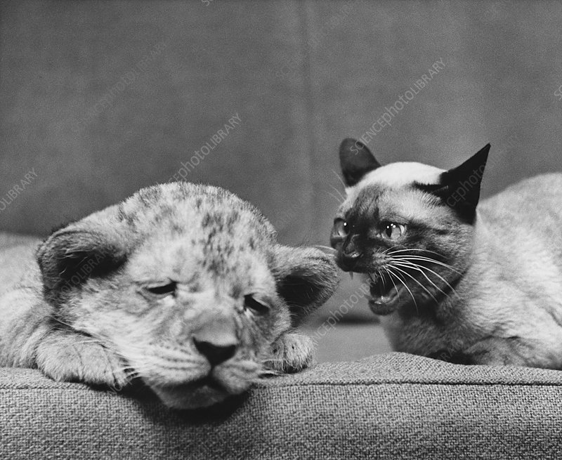 Lion Cub and Siamese Cat