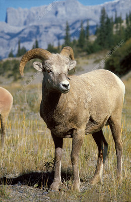Rocky Mountain Big Horn Ram