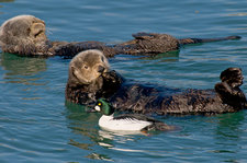 Goldeneye Duck with Sea Otters