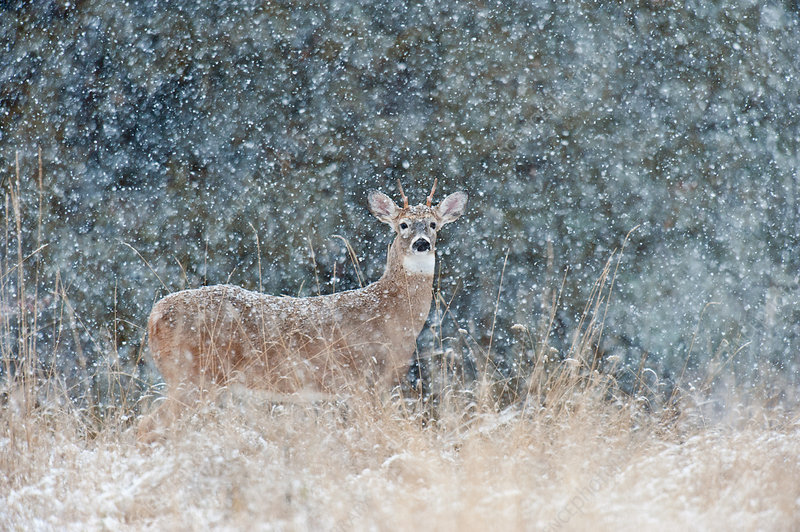 Spike Buck in Snow