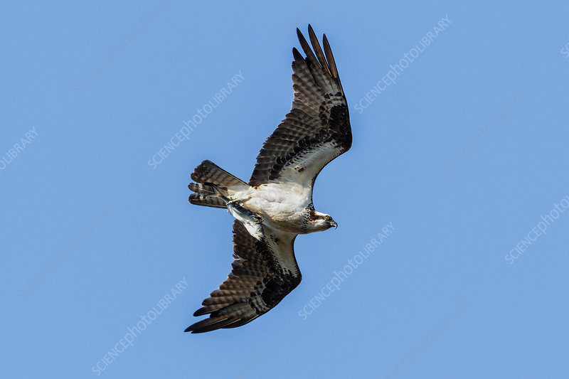 Osprey with Bluefish