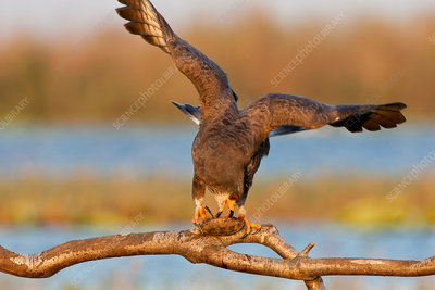Snail Kite eating Turtle