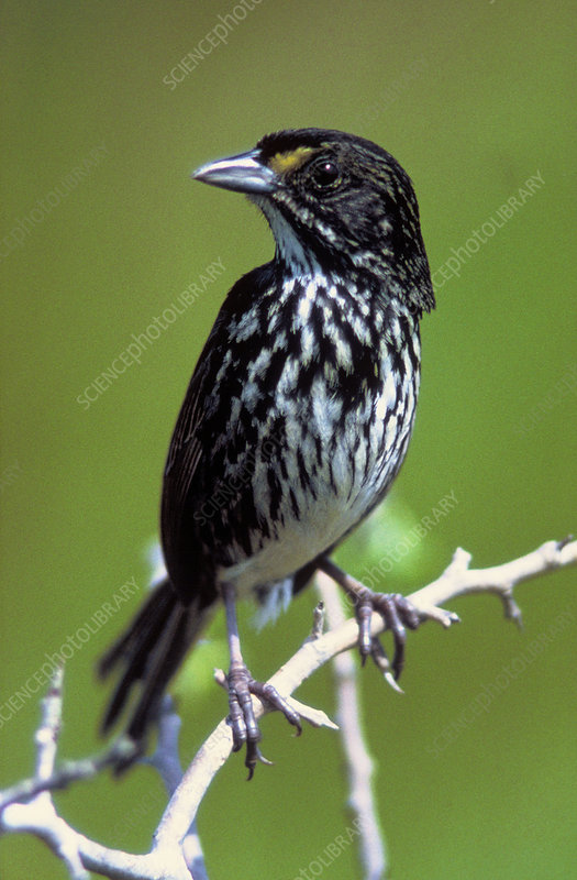 Extinct Dusky Seaside Sparrow