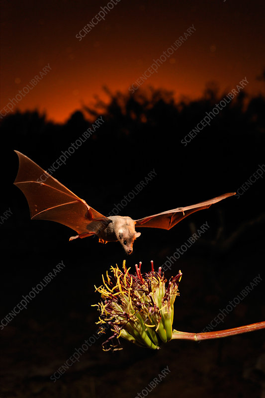 Lesser long-nosed bat