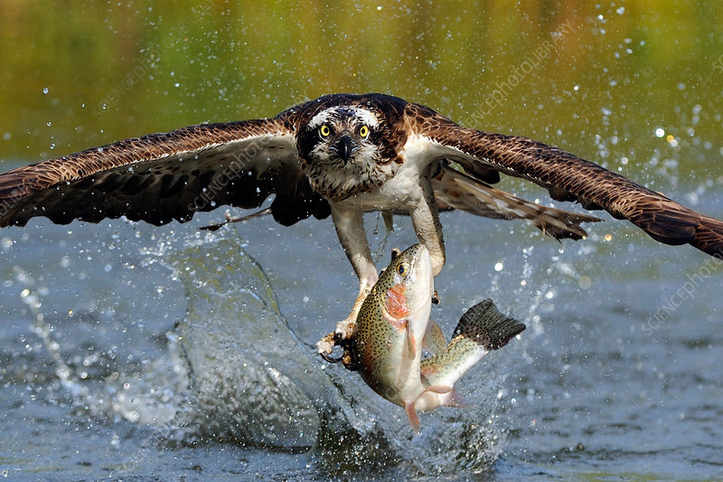 Osprey Catching Trout