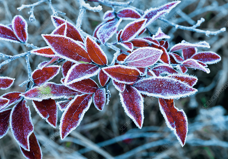 Frost on Blueberry Leaves