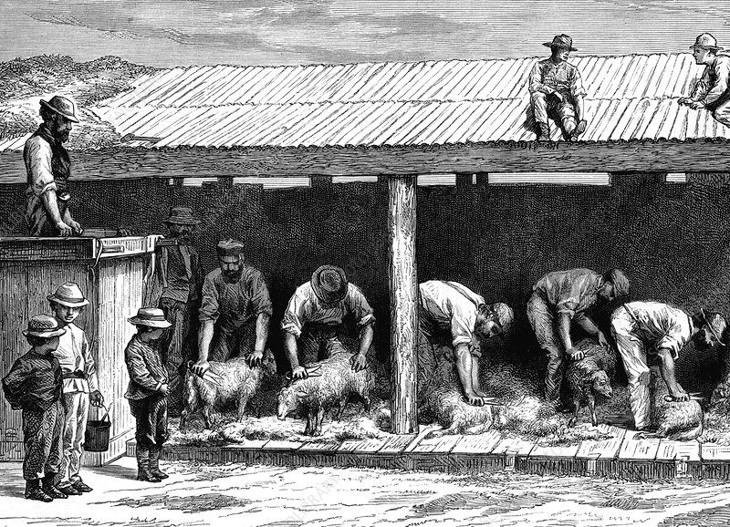 19th Century Australian sheep shearing