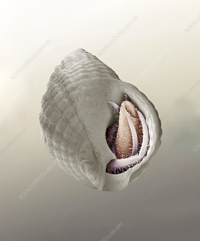 South-claw hermit crab, SEM