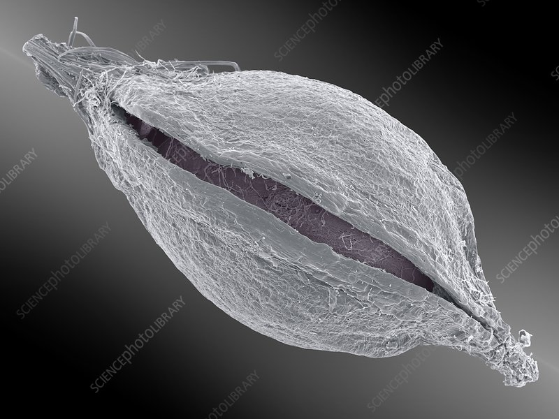 Mountain clover seed, SEM