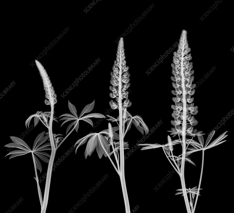 Lupins (Lupinus sp.) in flower, X-ray