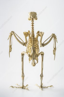 Peregrine falcon skeleton