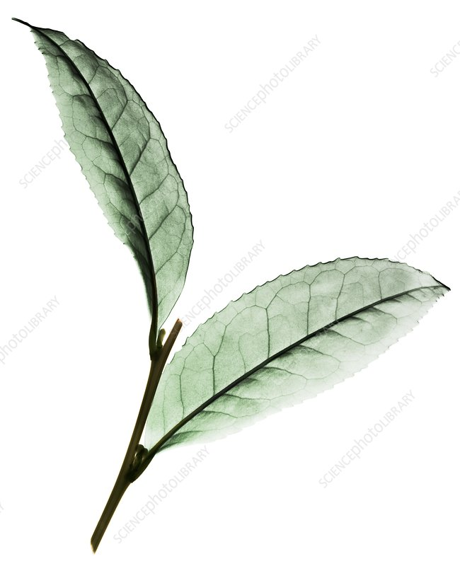 Tea (Camellia sinensis) leaves, X-ray