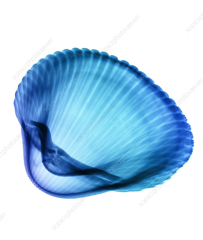 Bivalve sea shell, X-ray