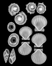 Sea shells, X-ray