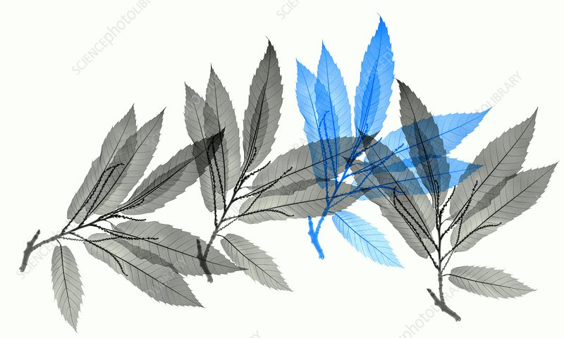 Sweet chestnut (Castanea sativa) leaves