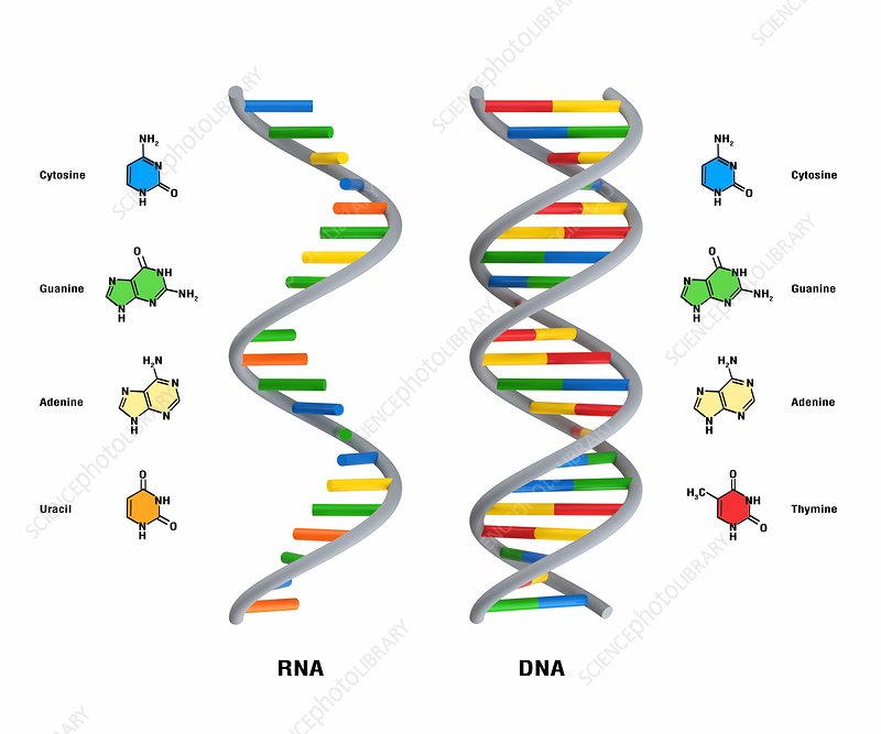 Structure of RNA and DNA, illustration