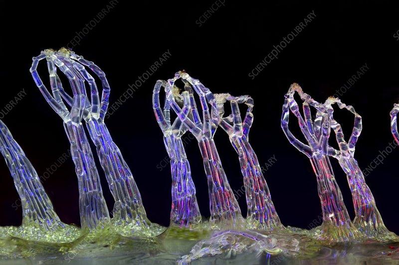 Salvinia sp  trichomes - Stock Image C028/8656 - Science