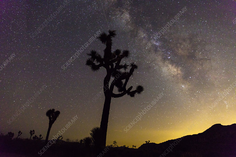 Milky Way over Joshua trees at sunset