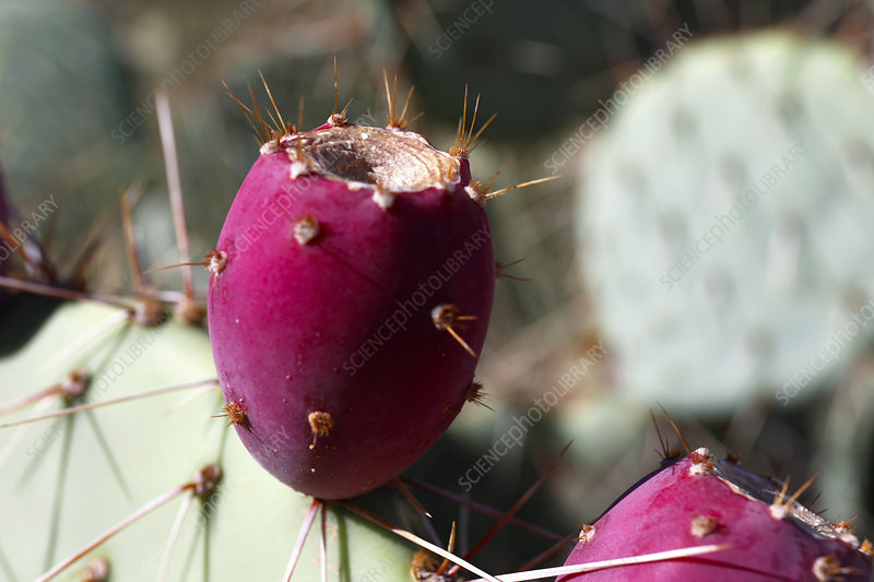 Prickly pear (Opuntia sp.) fruit