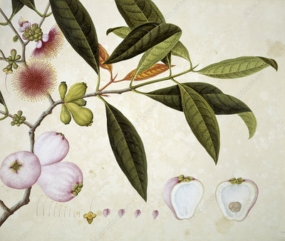 Plant from Canton, China, illustration