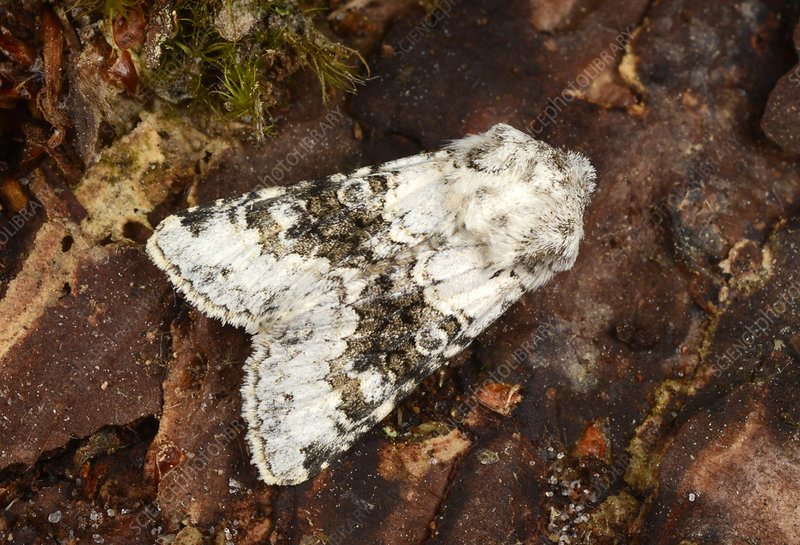 Broad-barred white moth