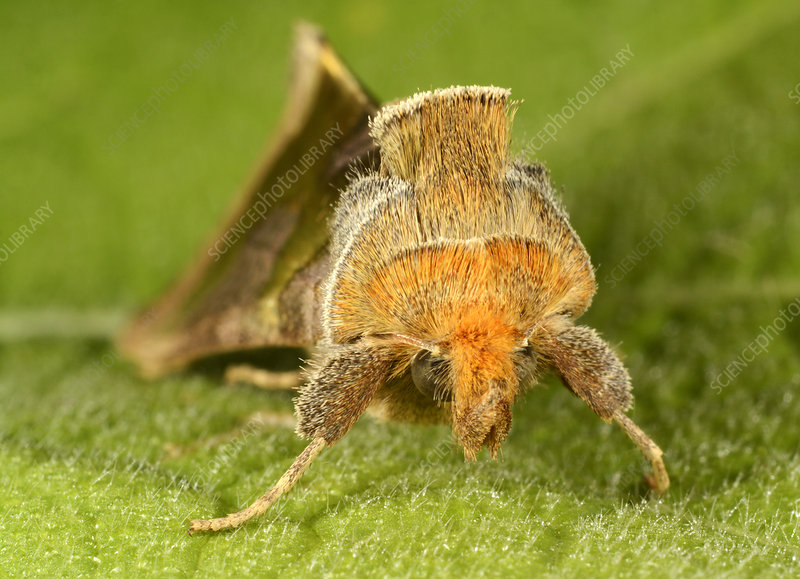 Burnished brass moth