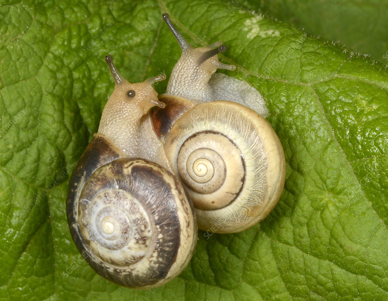 Kentish snails