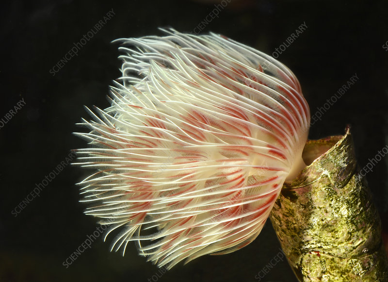 Red fan worm