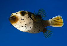 Dogface pufferfish