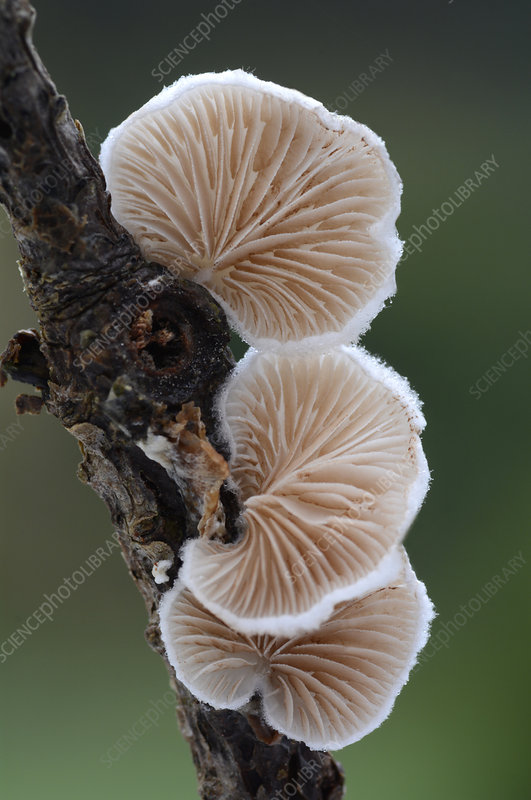 Variable oysterling fungus