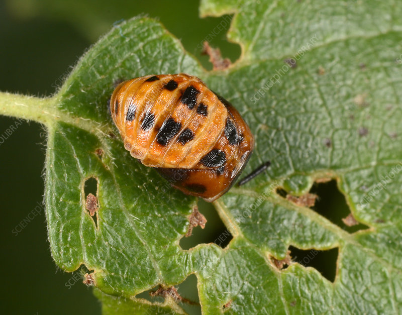 Harlequin ladybird larva late pupating
