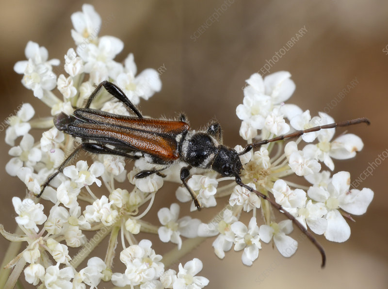 Round-necked-longhorn beetle