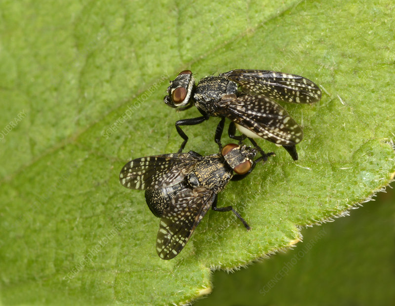Signal flies mating