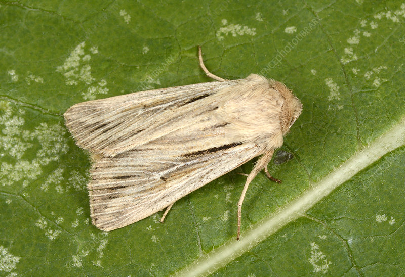 Shoulder-striped wainscot moth
