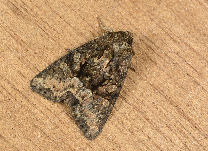 Clouded brindle moth