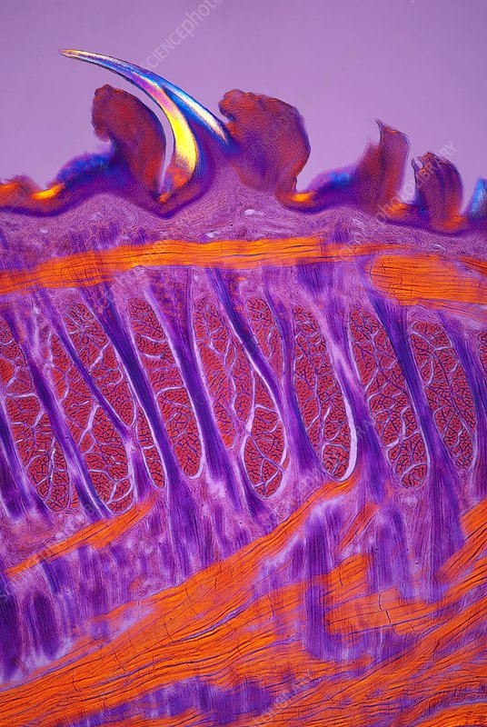 Cat tongue, polarised light micrograph