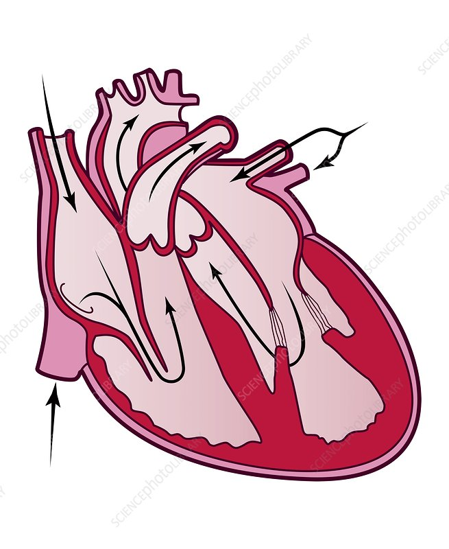 Blood flow in the heart, illustration