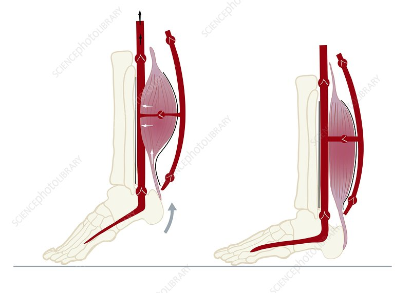Skeletal-muscle pump, illustration