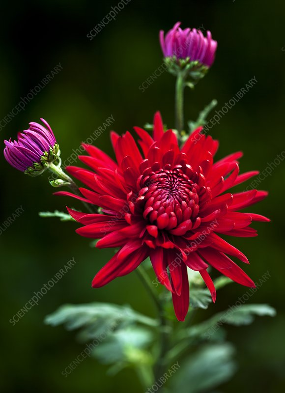 Chrysanthemum 'Red Mist'