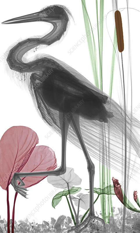 Heron, coloured X-ray